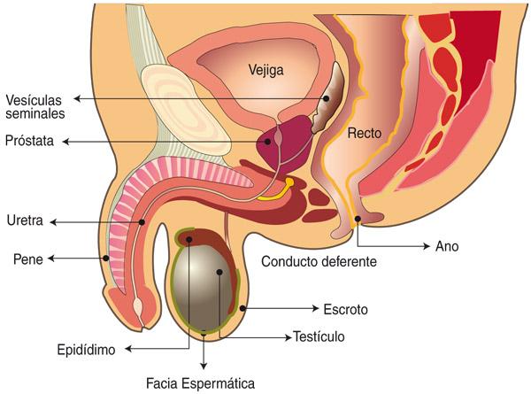diagrama de instrucciones del orgasmo prostático